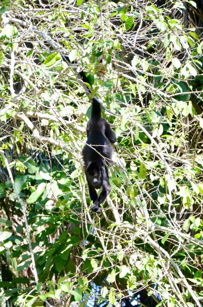 A monkey hanging from a branch eating.