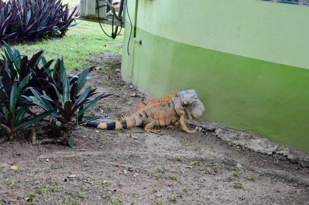 A large orange colored iguana on the ground.