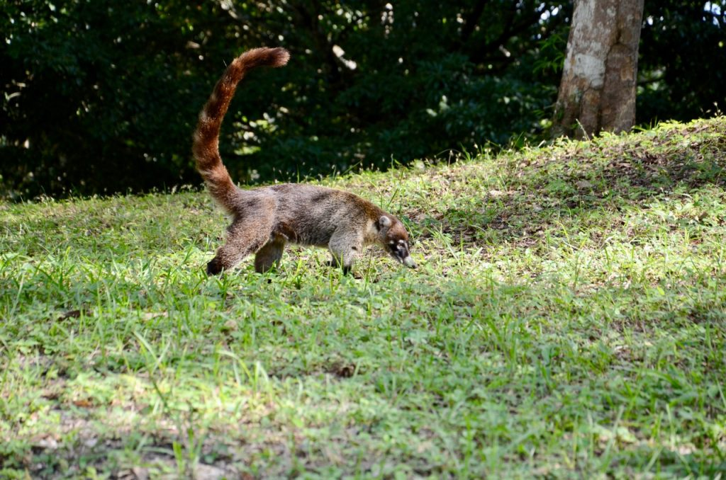 Coati walking in the grass.