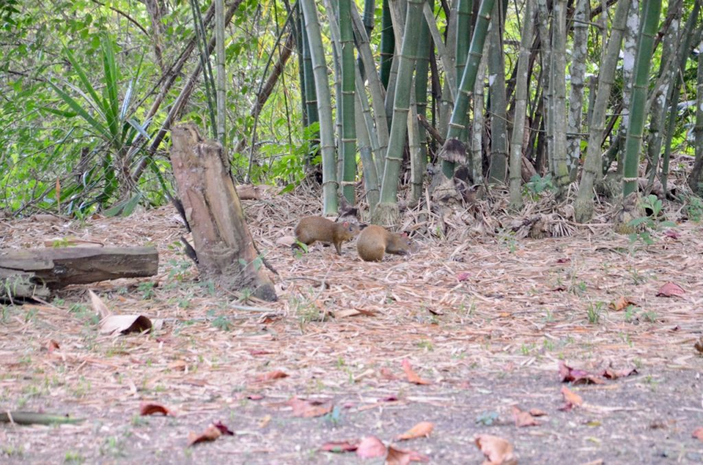 A pair of agouti snuffling through leaves.
