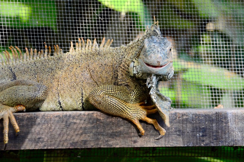 Male iguana watching the camera