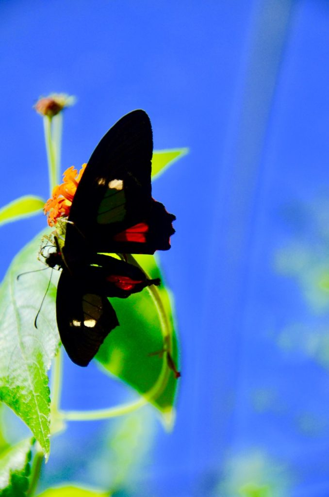 Black butterfly with red