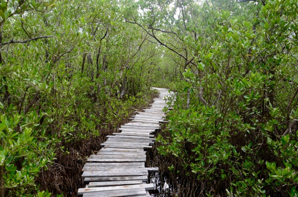 Rough wooden trail through a marsh.