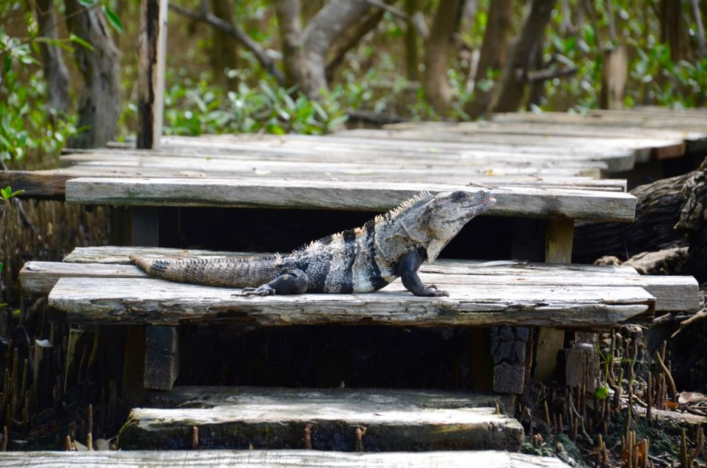 A black iguana sitting on a wooden path.