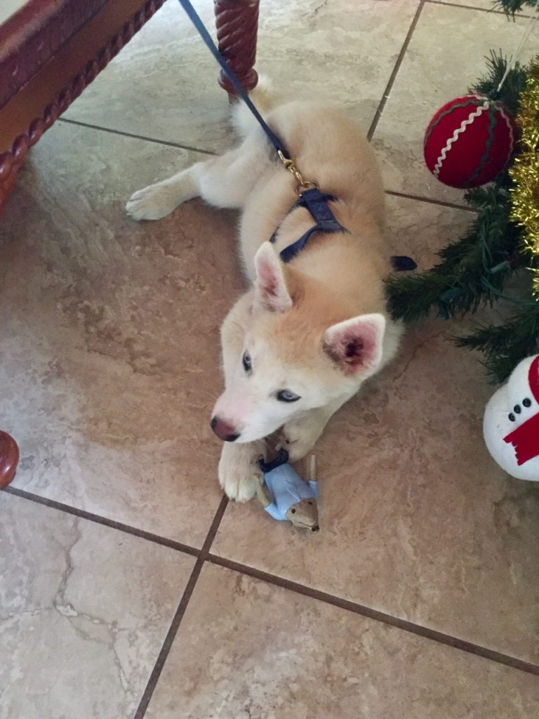 A husky poppy playing with a toy.