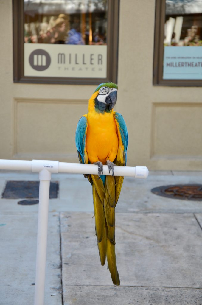 The blue and yellow parrot, now resting with her wings closed, watches the photographer from her perch.
