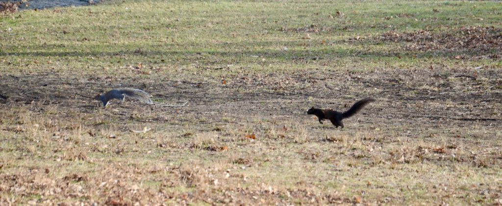 A black squirrel chacing a grey one.