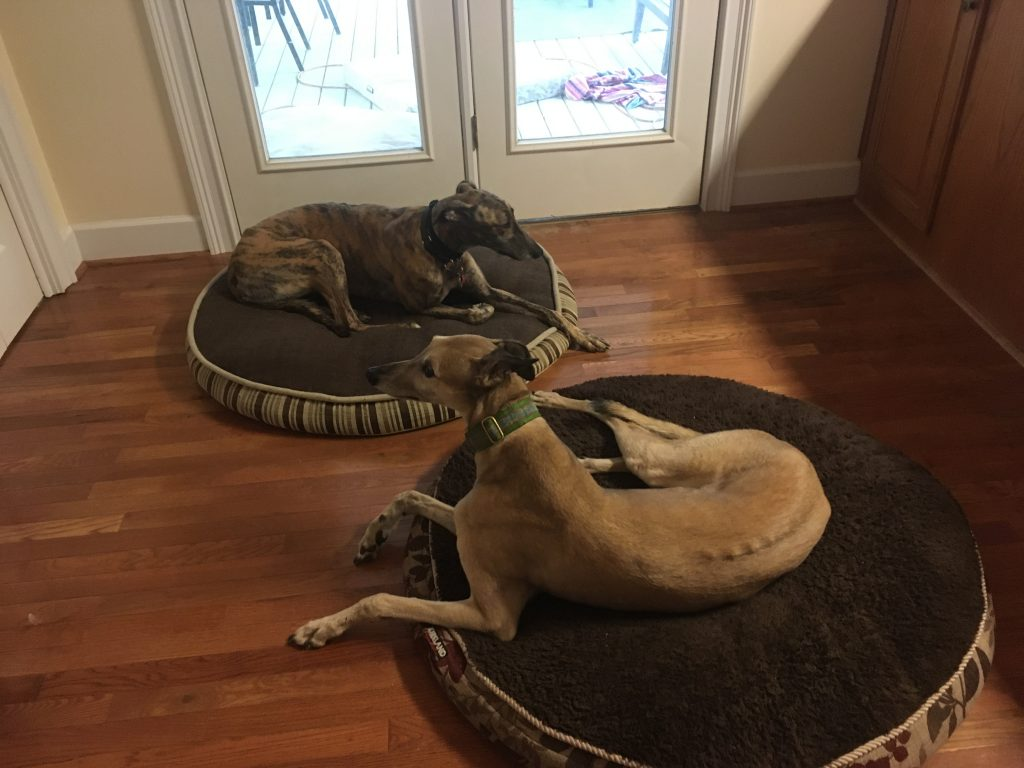 Two greyhounds laying on beds on a hardwood floor.
